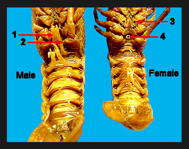 Determining the sex of crawfish